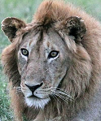 A lion gazes into the distance, perhaps at some potential prey.