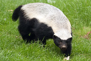 Enter honey badger: This little salty fellow helps motivate the San Francisco 49ers' locker room to great heights. (Shutterstock)